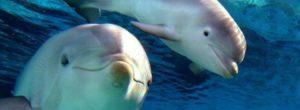 Τα θηλυκά δελφίνια τραγουδούν στα μωρά τους όταν ακόμα βρίσκονται στην κοιλιά