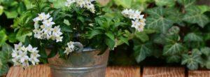 Η μυρωδιά του γιασεμιού ηρεμεί τα νεύρα, σαν φάρμακο αλλά χωρίς παρενέργειες