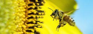 Οι μέλισσες ανακηρύχτηκαν ως τα πιο σημαντικά έμβια όντα στον πλανήτη