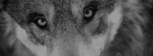 Ο μοναχικός λύκος