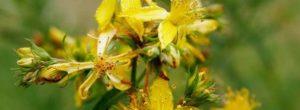 Σπαθόχορτο ή Βαλσαμόχορτο ή Υπερικό: Ιδιότητες, τρόποι χρήσης και θεραπευτικές συνταγές