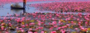 Μια λίμνη γεμάτη με ροζ άνθη από λωτούς. Ένα υπερθέαμα της φύσης στην Ταϊλάνδη.