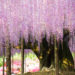 Wisteria: Το πιο όμορφο δέντρο του κόσμου (φωτογραφίες)
