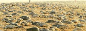 Ινδία: Οι άνθρωποι σε καραντίνα και οι θαλάσσιες χελώνες (επιτέλους) ελεύθερες (Φωτογραφίες)