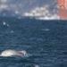 Δελφίνια απολαμβάνουν τον ασυνήθιστα ήρεμο Βόσπορο, λόγω της καραντίνας