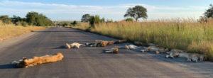 Κορωνοϊός: Λιοντάρια κοιμούνται στο δρόμο – Εν μέσω lockdown στη Νότια Αφρική