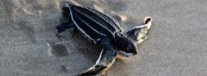 Το lockdown λόγω κορωνοϊού «αύξησε» τις σπάνιες θαλάσσιες χελώνες της Ταϊλάνδης